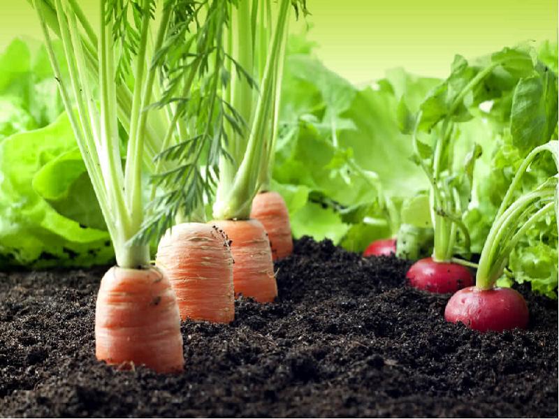 Carrot field (Image Credit - Google)