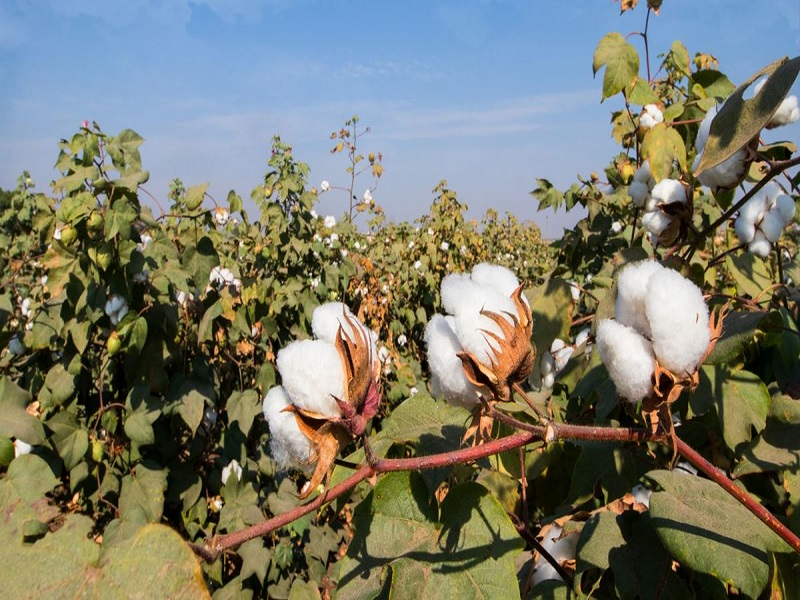 Cotton cultivation (Image Credit - Google)