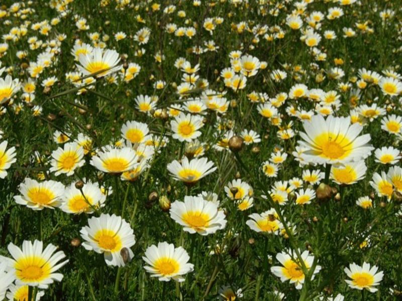 Chrysanthemum (Image Credit - Google)