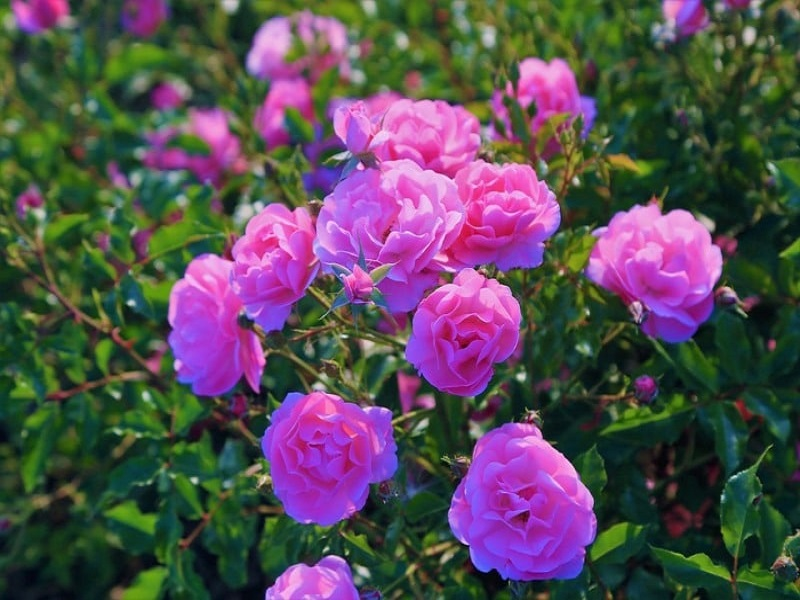 Rose garden (Image Credit - Google)