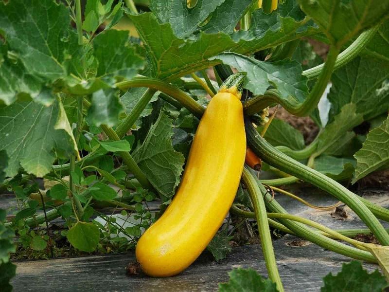 Zucchini (Image Credit - Google)