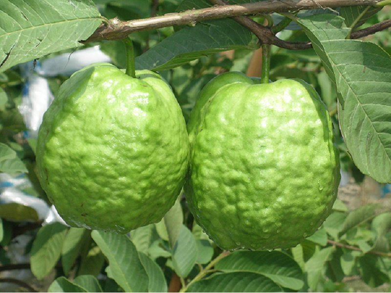 Guava (Image Credit - Google)