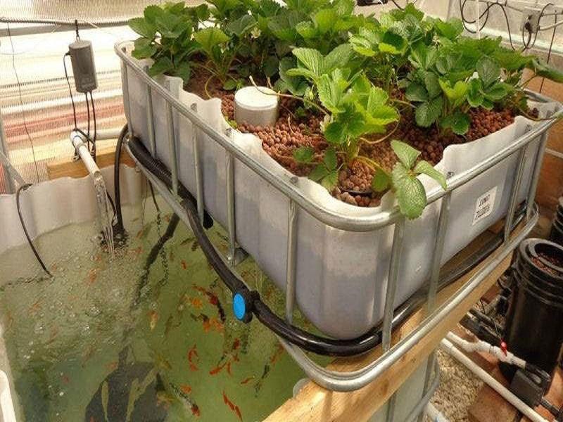 Aquaponics farming (Image Credit - Google)