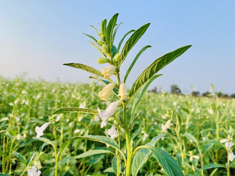 Sesame Cultivation (Image Credit - Google)