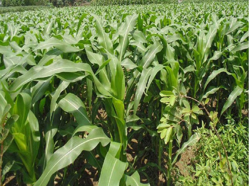 Baby corn field (Image Credit - Google)