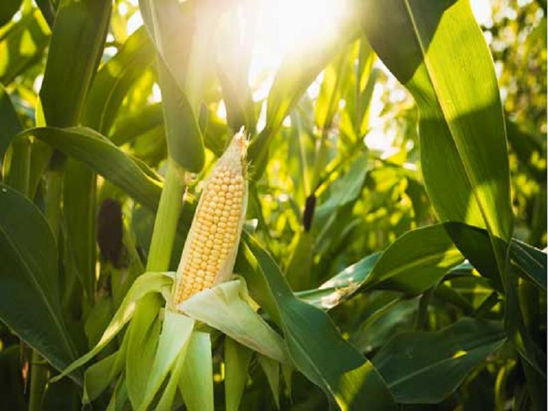 Corn cultivation (Image Credit - Google)