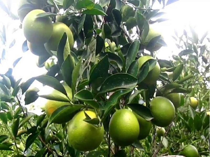 Citrus fruit (Image Credit - Google)