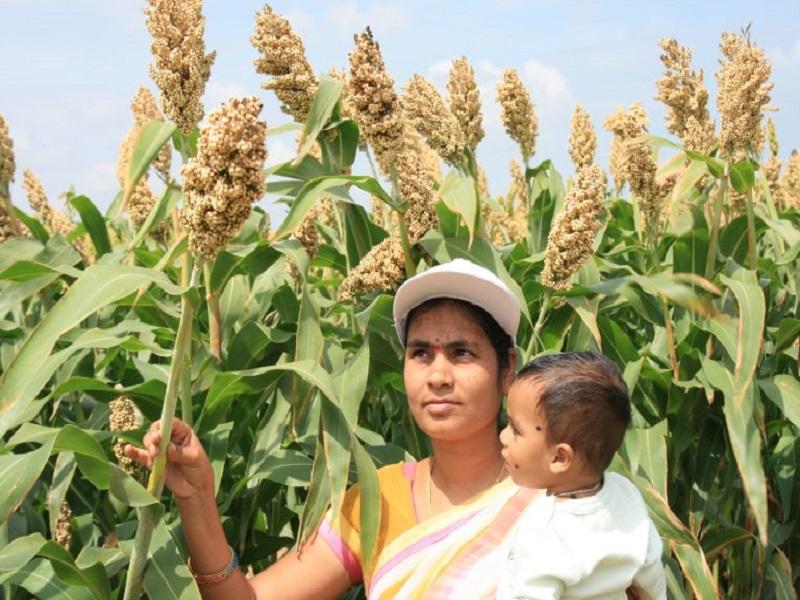 Kharif Crop Sorghum (Image Credit - Google)