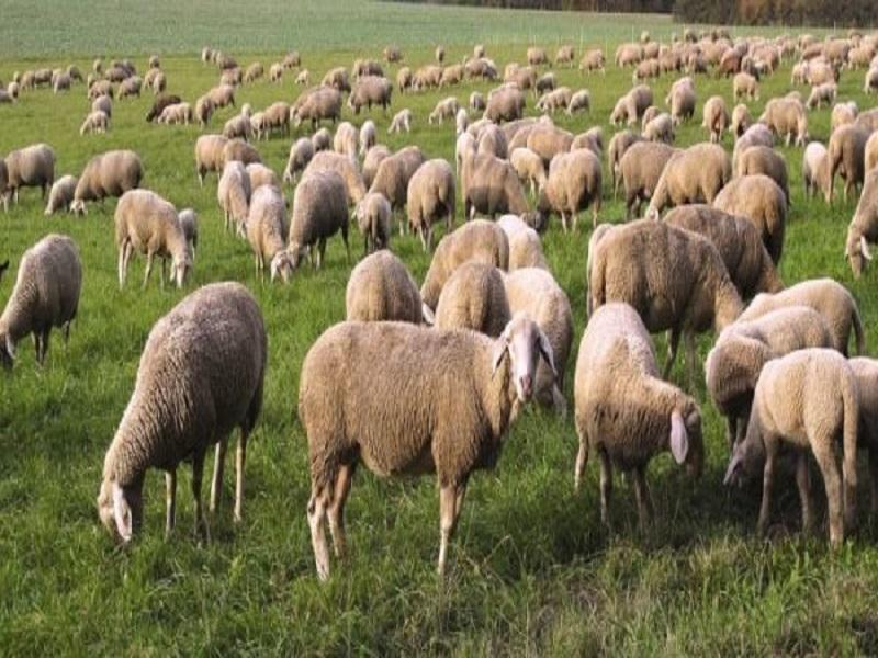 Sheep farm (Image Credit - Google)