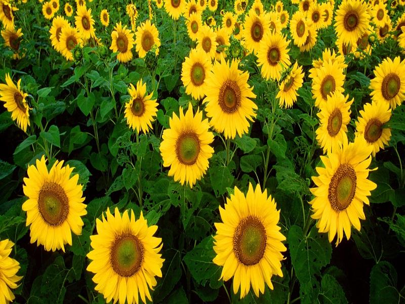 Sunflower (Image Credit - Google)