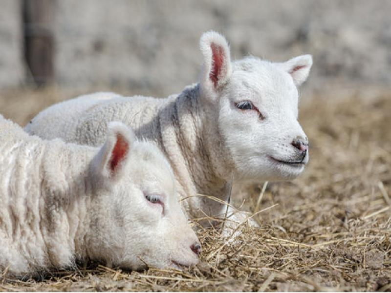 Livestock farm (Image Credit - Google)