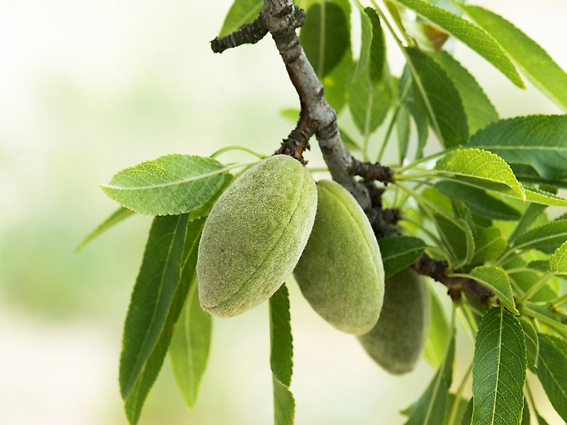 Almond nut (Image Credit - Google)