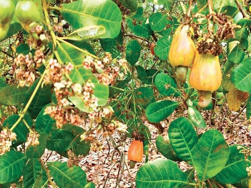 Cashew tree (Image Credit - Google)