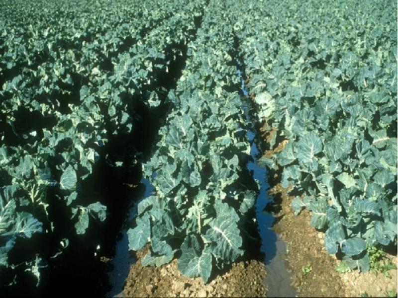 Cauliflower field (Image Credit - Google)