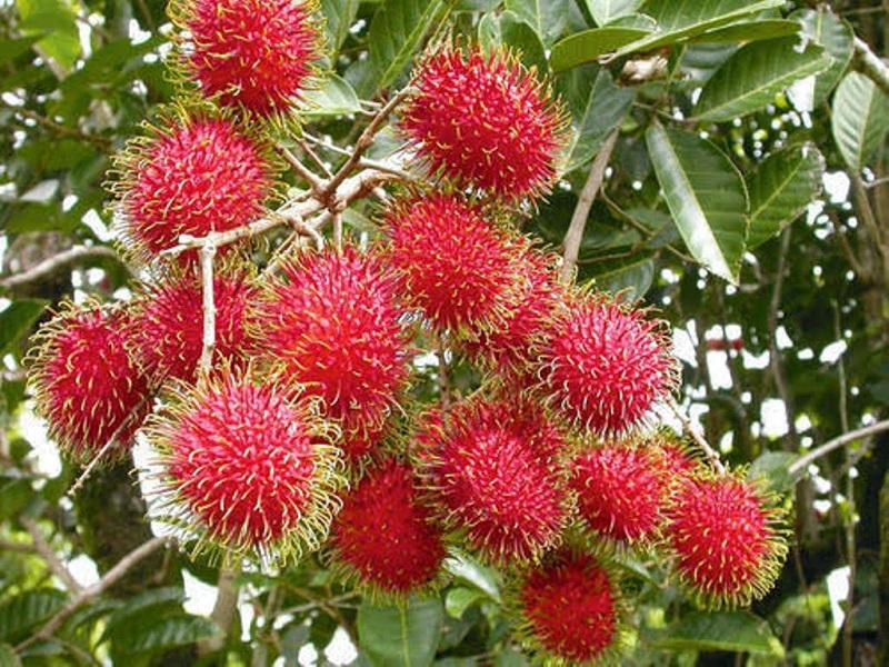 Rambutan Fruit (Image Credit - Google)