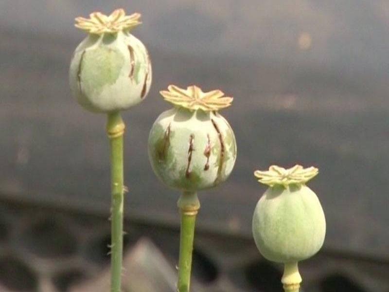 Poppy Seed (Image Credit - Google)