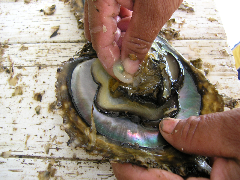 Pearl cultivation (Image Credit - Google)