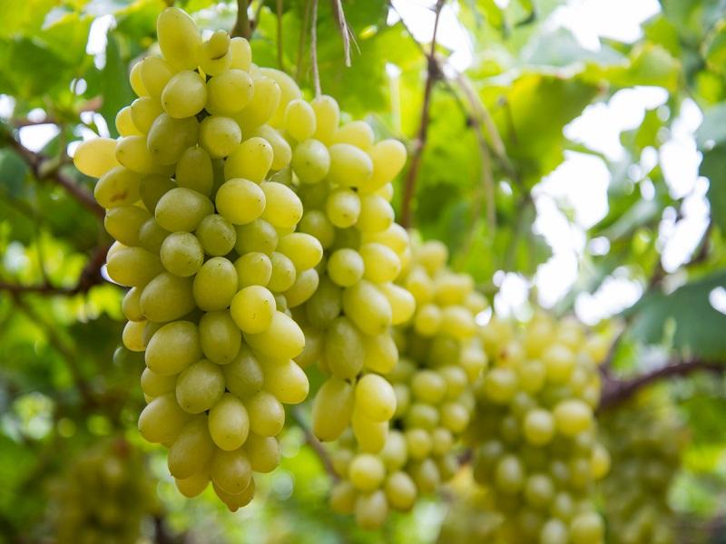 Grapes Farming: মিষ্টি আঙ্গুর চাষে ব্যাপক সাফল্য কৃষক আব্দুর রশিদের