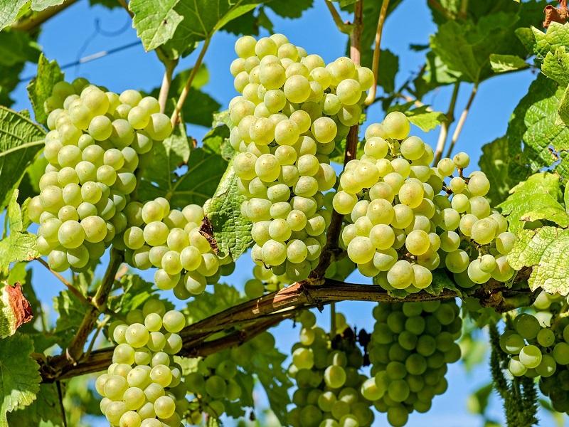 Grape fruit (Image Credit - Google)