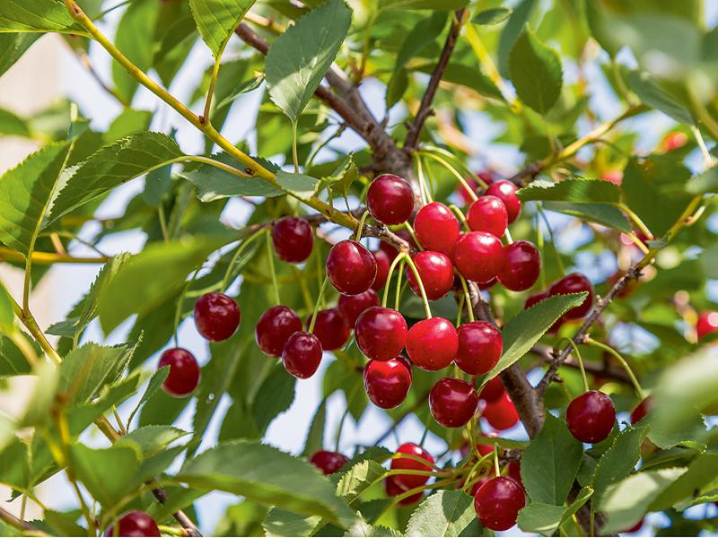 Cherry Tree (Image Credit - Google)
