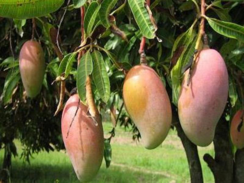 Mango (Image Credit - Google)