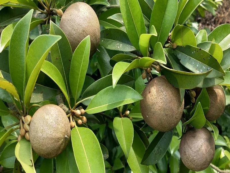 Safeda tree (Image Credit - Google)