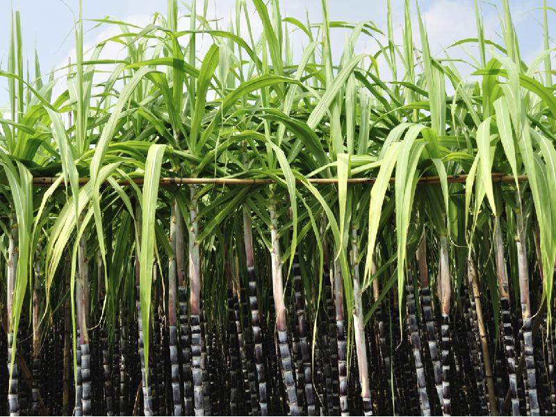 Sugarcane disease (Image Credit - Google)