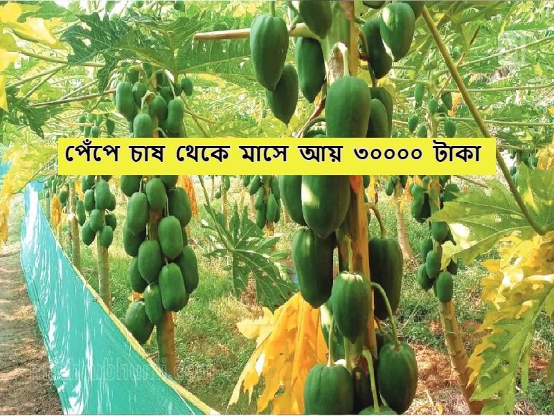 Papaya Farming - পেঁপে চাষ করে এই কৃষক মাসে আয় করছেন ৩০০০০ টাকা
