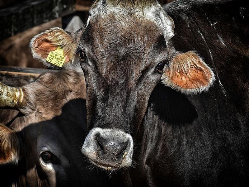 Cattle Farm (Image Credit - Google)