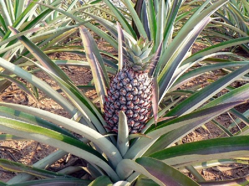 Pineapple Farming: জেনে নিন আনারসের চাষ পদ্ধতি ও সহজ পরিচর্যা