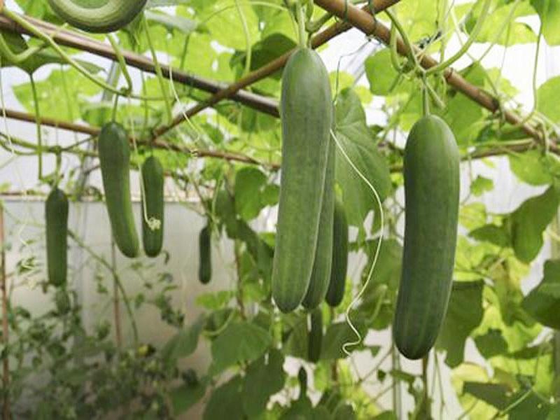Cucumber Farming: শসা চাষ করে আলোর মুখ দেখছেন কৃষক