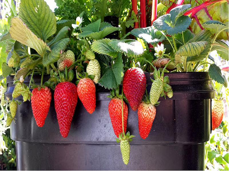 Strawberry (Image Credit - Google)