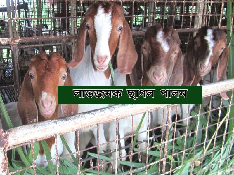 Profitable Goat Rearing - এই প্রজাতির ছাগল পালন আপনাকে দেবে সবচেয়ে বেশী মুনাফা