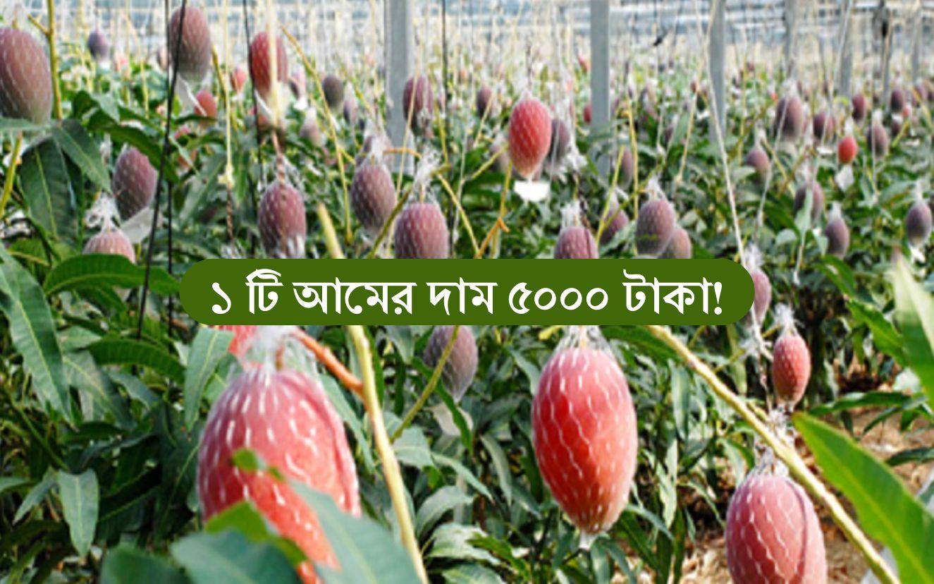 "Red Mango Farming: বাংলাদেশে চাষ হচ্ছে বিশ্বের সবচেয়ে দামি আম, ""সূর্যডিম"""