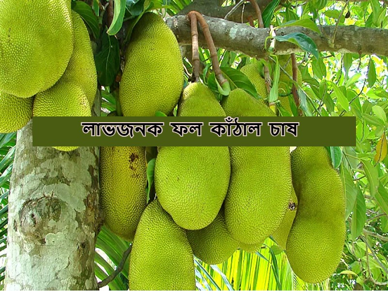 Jackfruit Cultivation – সহজ পদ্ধতিতে লাভজনক ফল কাঁঠাল চাষে আয় হবে দ্বিগুণ