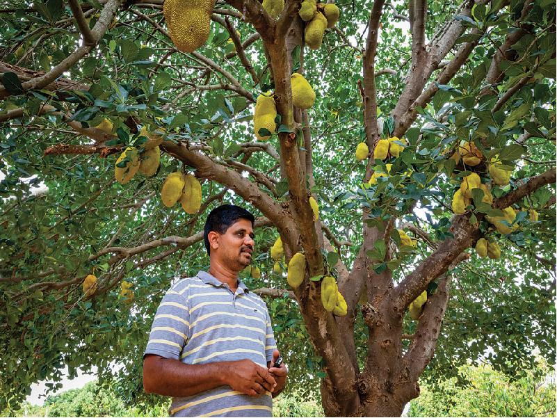 Jackfruit Tree (Image Credit - Google)