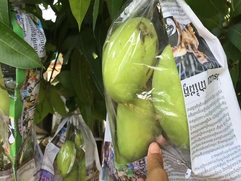 Mango farming (Image Cream - Google)