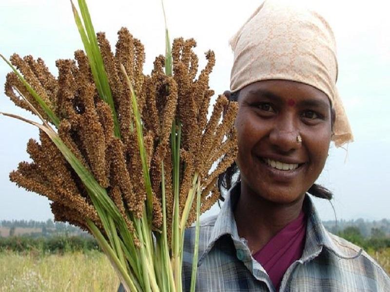 Millet Crop (Image Credit - Google)