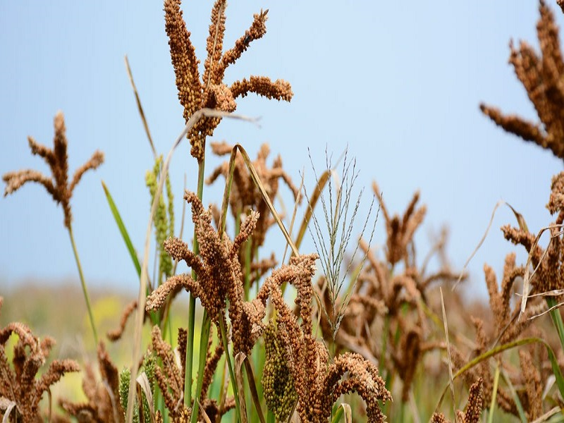 Finger Millet (Ragi) Farming: জেনে নিন রাগী শস্য চাষের সম্পূর্ণ পদ্ধতি