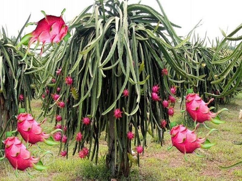 Dragon Fruit Farming: ড্রাগন ফল চাষে ব্যাপক সাফল্য উত্তরবঙ্গের মহিলা কৃষকের