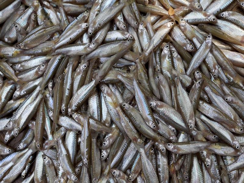 Mola Fish (Image Credit - Google)
