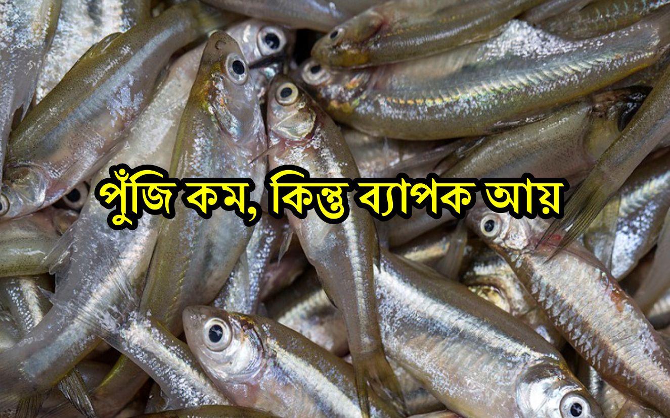 Mola Fish Farming: পুকুরে মলা মাছ চাষ করতে চান? শিখে নিন দারুন পদ্ধতি