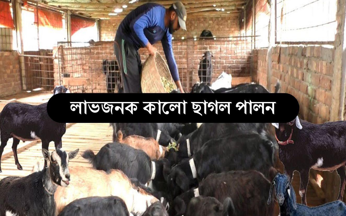 Black Goat Farming: কম খরচ আর ঝুঁকিতে কালো ছাগল পালনে অধিক লাভ করুন