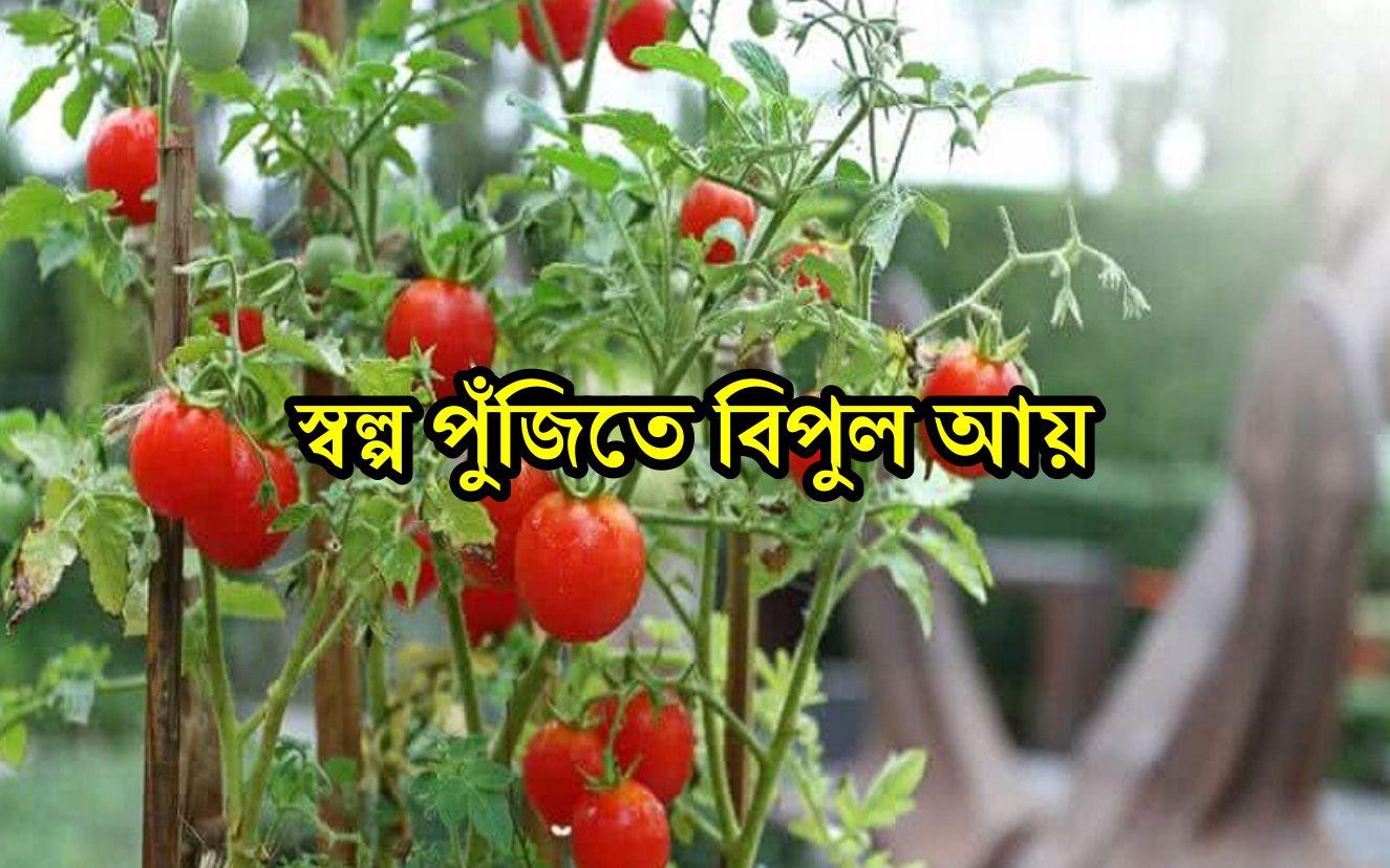 Cherry Tomato Farming: চেরি টমেটো চাষে উপার্জন করুন লাখ টাকা, জেনে নিন কৌশল