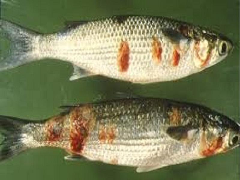 Fish Disease (Image Credit - Google)