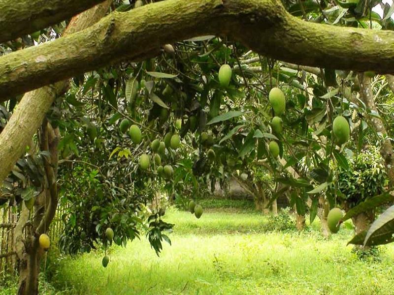 Mango tree (Image Credit - Google)