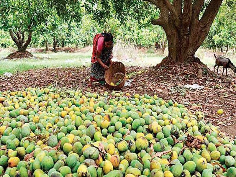 Keshar Mango (Image Credit - Google)