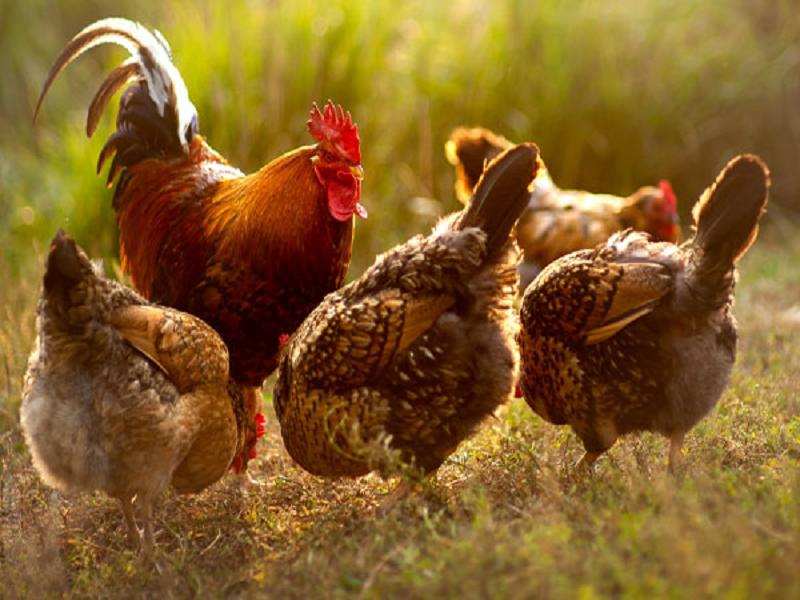 Poultry Farming - মুরগি ও ছাগল পালন করে লাভের মুখ দেখছেন প্রত্যন্ত অঞ্চলের বেকার যুবকরা ও যুবতীরা