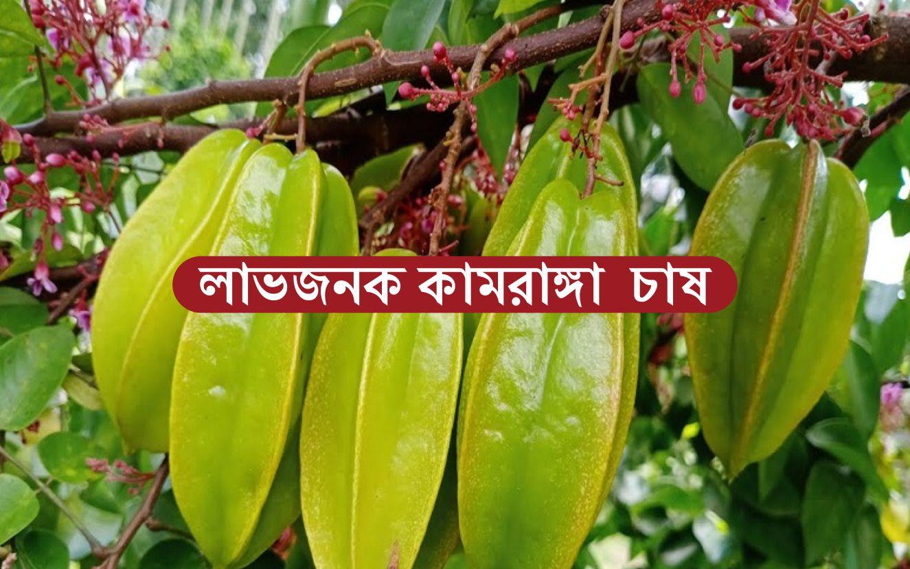 Carambola Fruit Farming: জেনে নিন সহজ উপায়ে কামরাঙ্গা চাষ পদ্ধতি