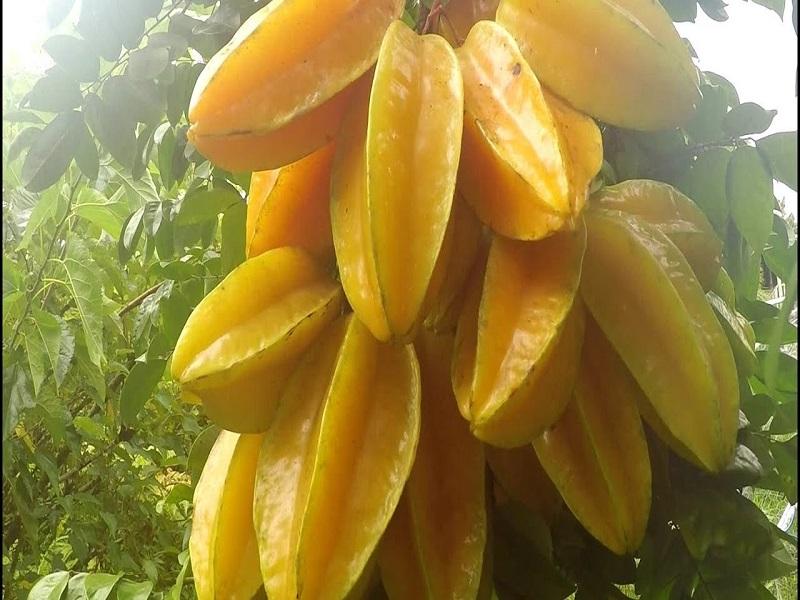 Carambola Fruit (Image Credit - Google)